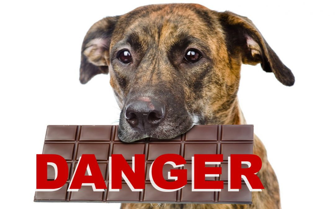 Intoxication au chocolat chez le chien